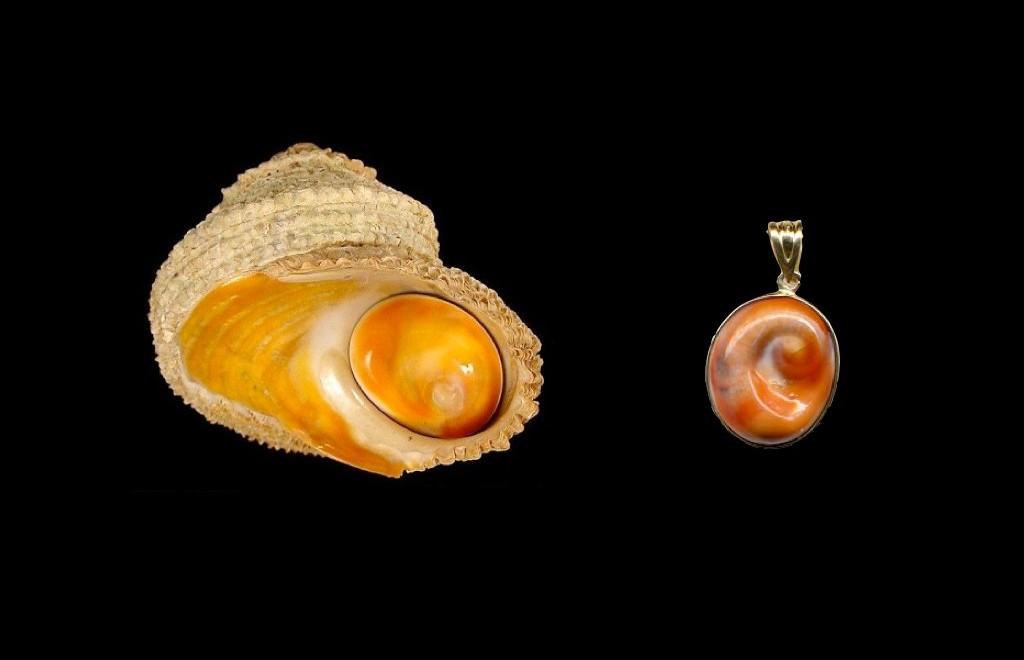 Astrea rugosa - uocchio e santa Lucia