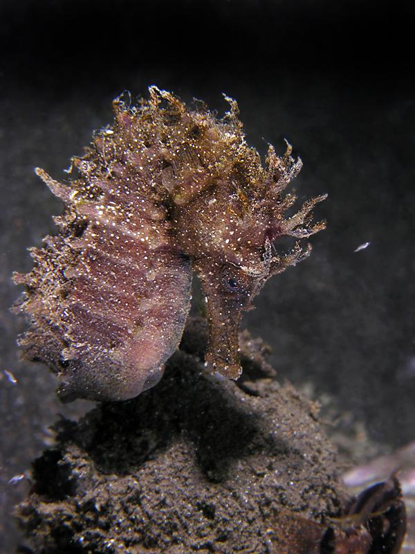 Hippocampus guttulatus Cuvier, 1829 (foto di Fabio Russo)
