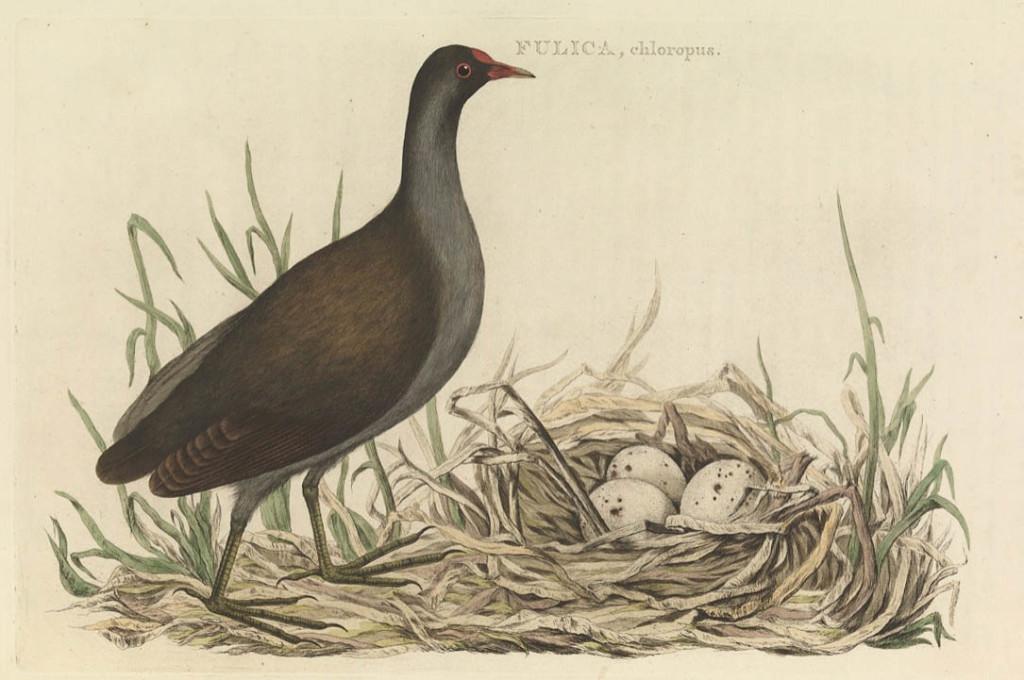 da Nederlandsche Vogelen_Gallinula chloropus[rit]