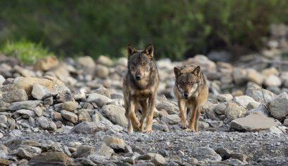 01 lupi con femm in grvidanza sul greto di torrente [Appennino - maggio 2015 - Alberto Tovoli]