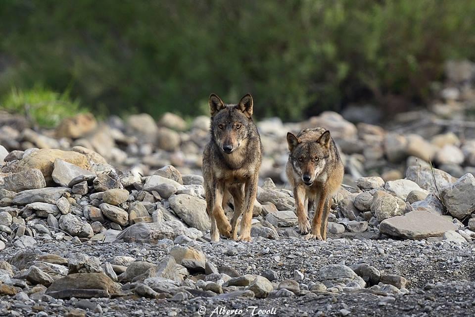 Il simbolismo del lupo e la Primavera Sacra dei popoli italici