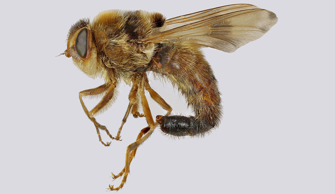 Gasterophilus intestinalis (foto di Janet Graham, wikipedia).