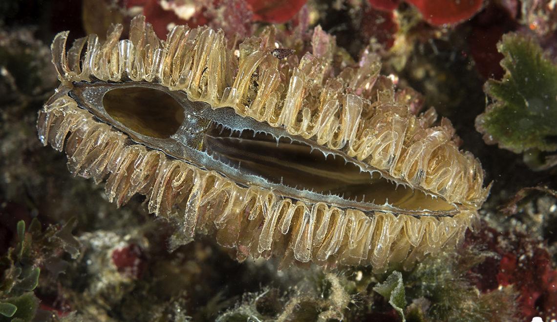 Pinna nobilis juv