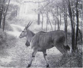 Un'antilope alcina (Taurotragus orix) nel viale della tenuta