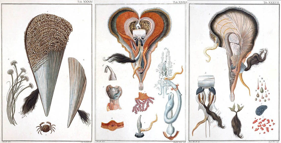 Pinna nobilis, illustrazioni da Testacea utriusque Siciliae di Giuseppe Saverio Poli.